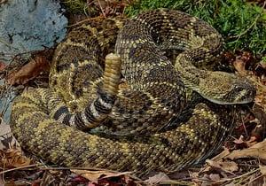 Western_Diamondback_Rattlesnake_(Crotalus_atrox) cc Peter Paplanus - https://www.flickr.com/photos/2ndpeter/50616693516/